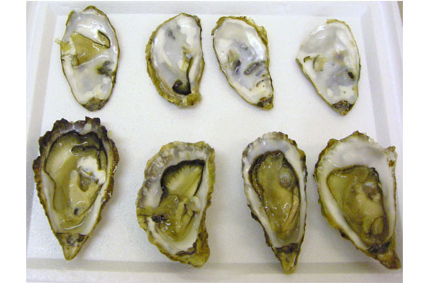 Oyster ecotoxicity testing